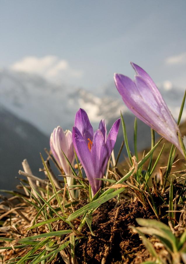 schauinstal_Alpenblumen_2.jpg