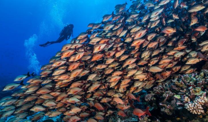 Plongeur face à un banc de poissons