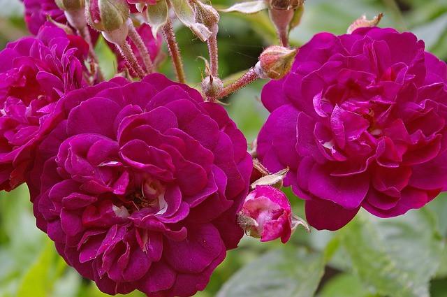 Roses de couleur magenta