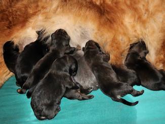 9 bébés Dogue du Tibet sont nés le 28/11/2020
