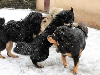 Des Dogues du Tibet heureux !!!