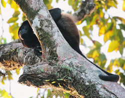 Howler Monkey Arenal, Costa Rica
