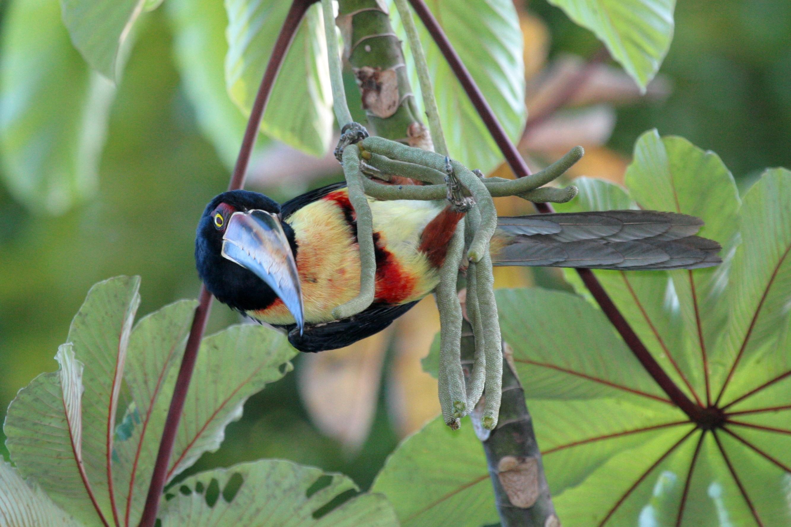 Costa Rica Toucan 1