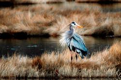 Great Blue Heron East Lyme, CT
