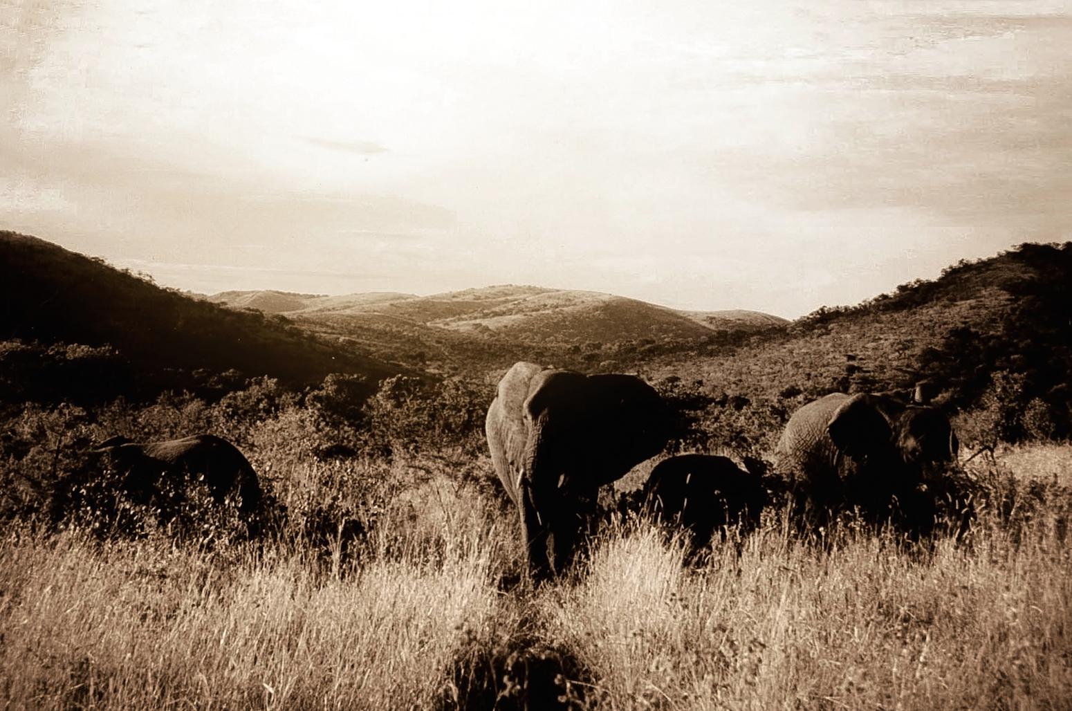 Elephants Grazing S. Africa