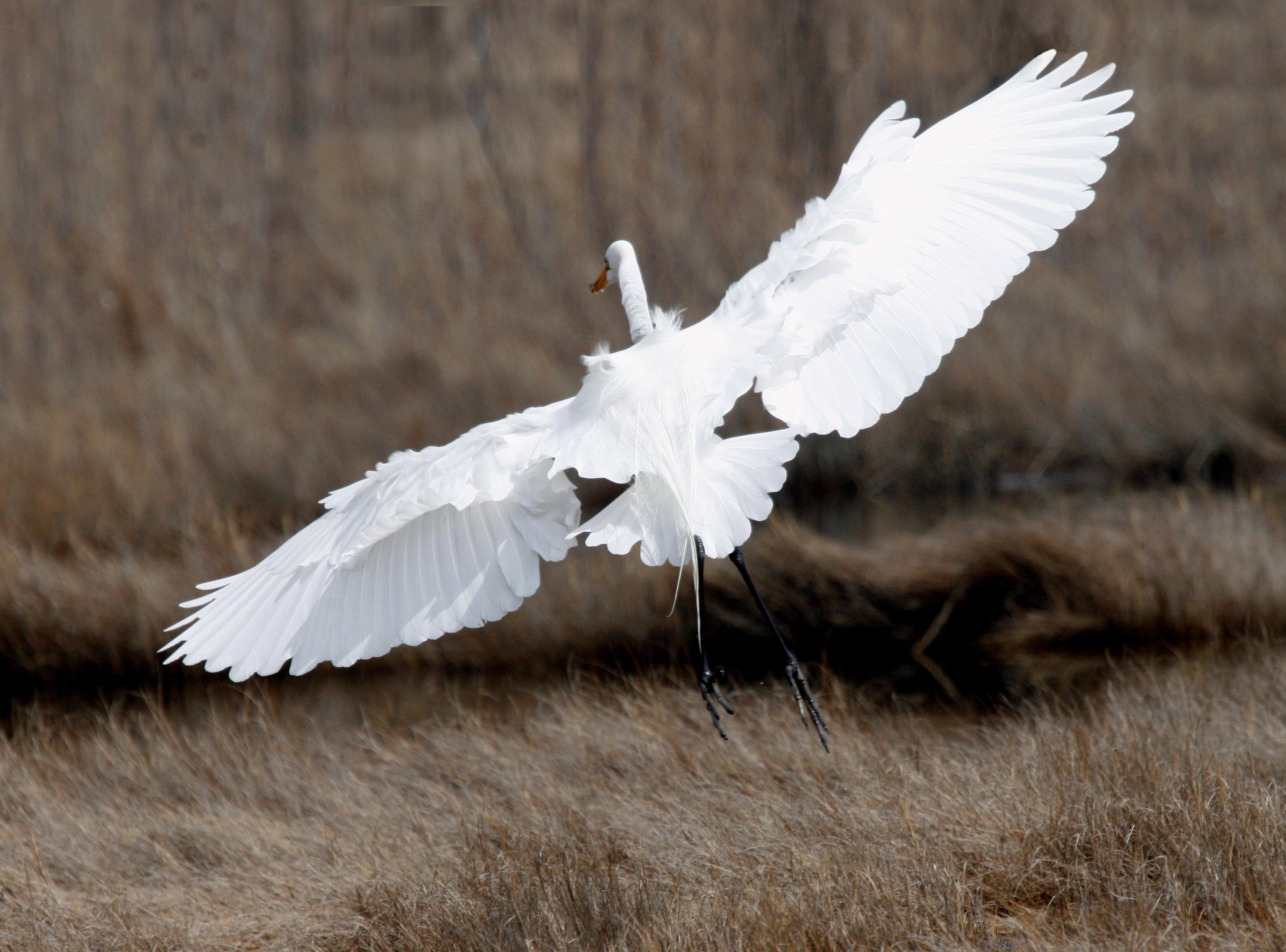 Egret Departing
