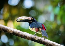 Toucan Feeding