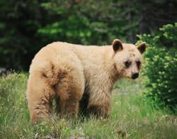 Brown Bear Wyoming