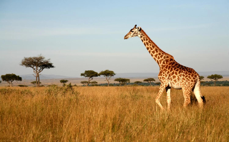 Giraffe.webp