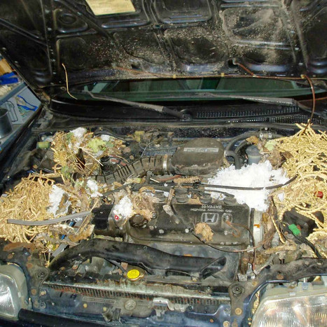 Rodent Droppings in car engine