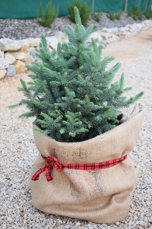 1.5ft Blue Spruce - Potted Tree