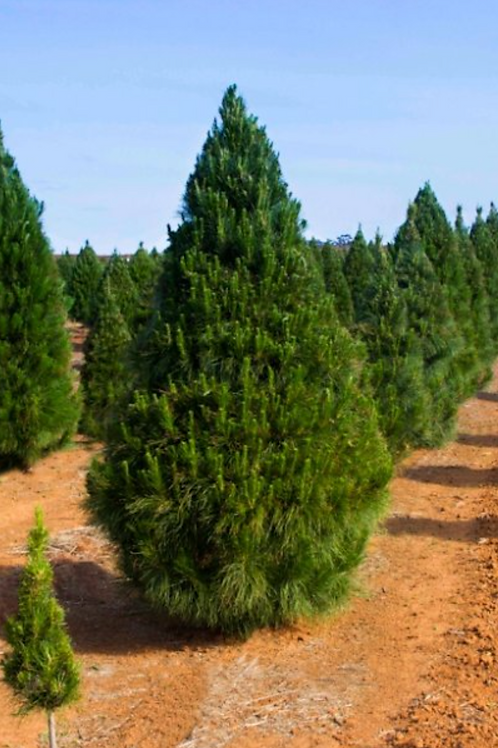 8ft Radiata Pine - Cut
