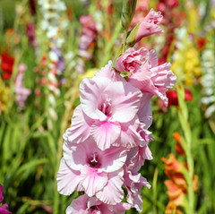 gladiolus-1546575.jpg