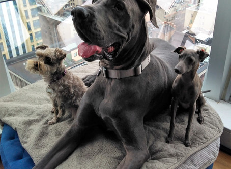 A NEW CLIENT THIS WEEK CAME WITH A GREAT DANE AND AN ITALIAN GREYHOUND PUPPY (my little guy on left)