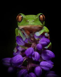 2019RFNHM_PDI_001 - Yellow Eyed Leaf Frog-Costa Rica by Pamela Wilson.