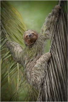 '3 Toed Sloth' by Pamela Wilson - Accepted