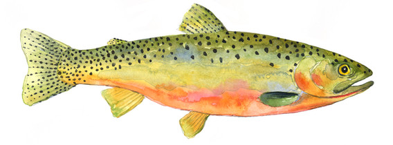 Cutthroat trout for Jumping Pound Creek Interpretive Signs
