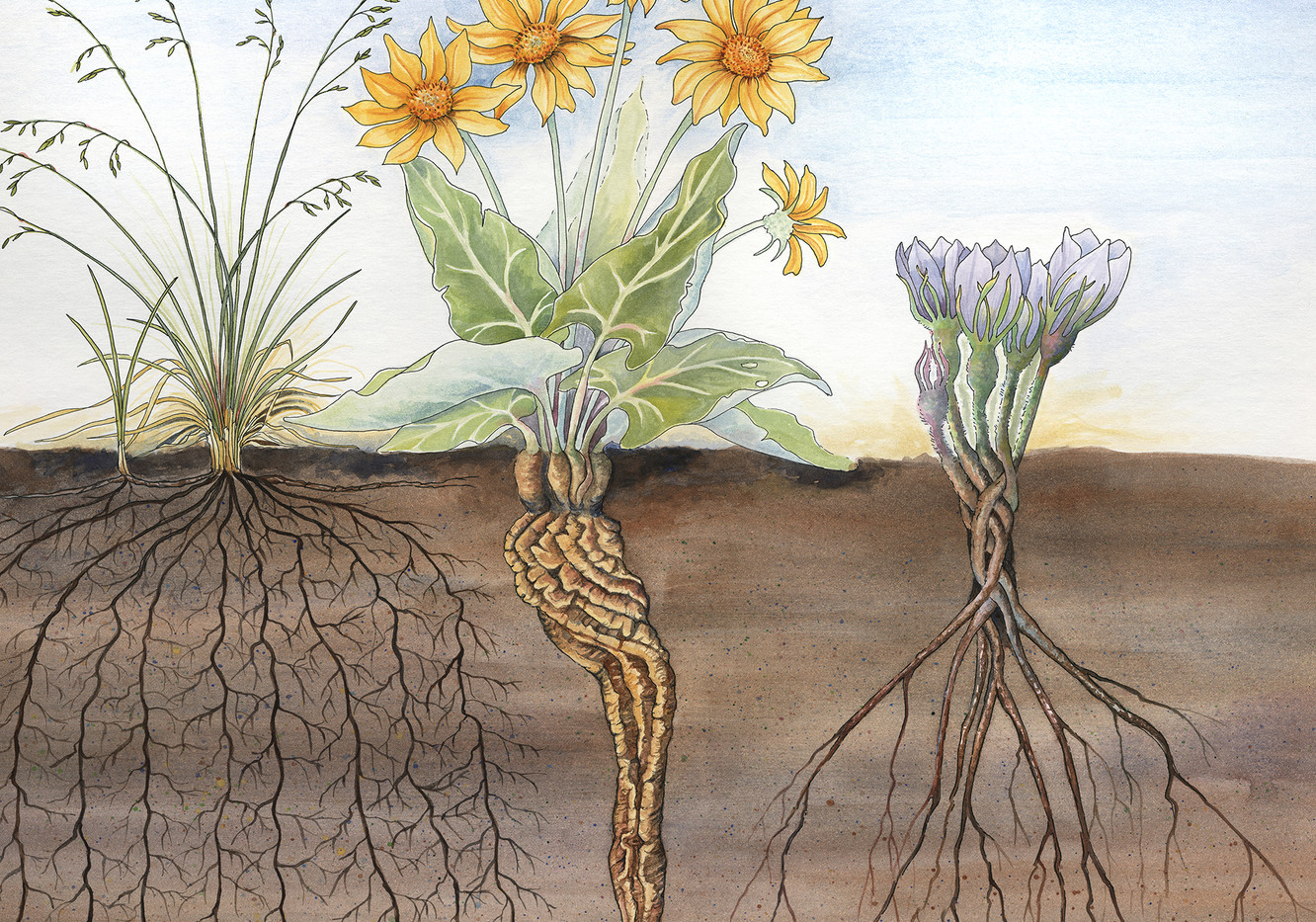Close up of Prairie Roots Illustration for MULTISAR Grassland Display