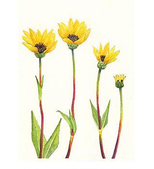 Rhombic-leaved Sunflower.jpg