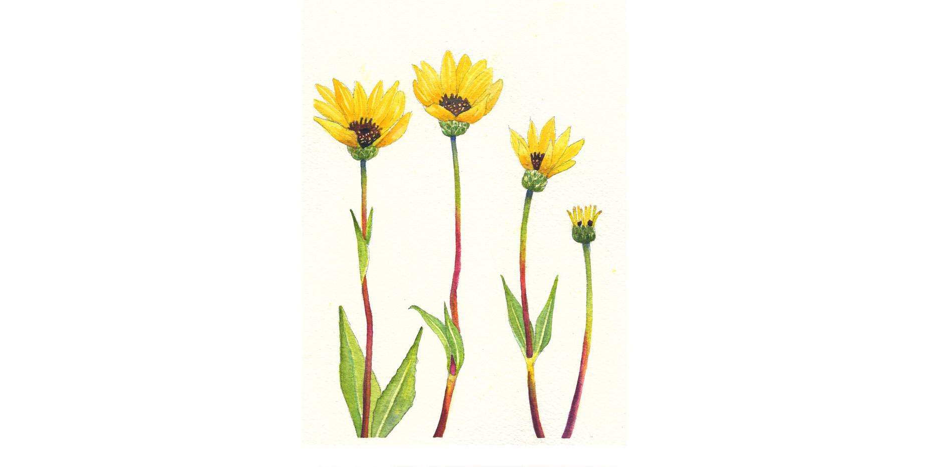 Rhombic-leaved Sunflowers