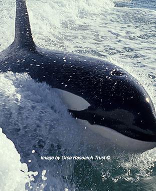 19940607-Surfing orca-HPF_edited.jpg