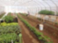 Transplants de tomates de serre