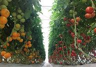 serre tomates.jpg