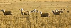 australian-lamb