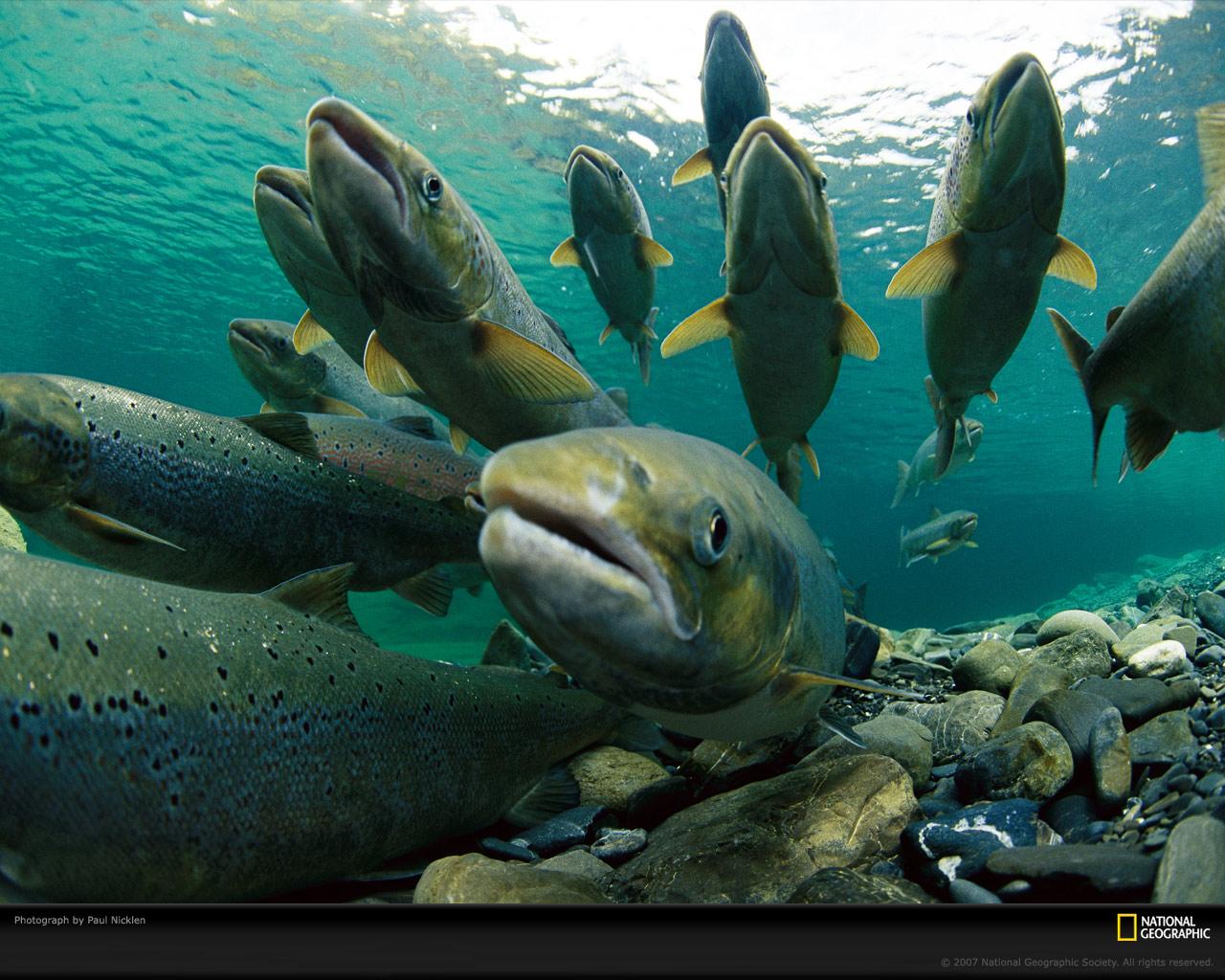 Salmon 1920_1080