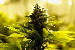 Cannabis_edited_edited.jpg