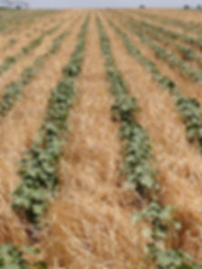 Cotton in stubble.jpg