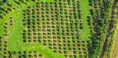 110812256-macadamia-nut-farm-aerial-dron