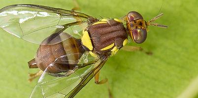 1100fruitfly.jpg