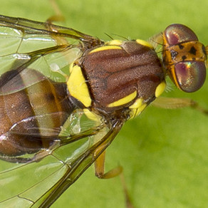 South Australia ramps up fruit fly protections