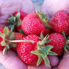 La conservation des fraises