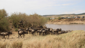Kenya - Masai Mara - kampen for tilværelsen