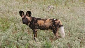 Sør Afrika - på jakt med villhunder i Timbavati