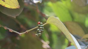 Pepper - Keralas sorte gull