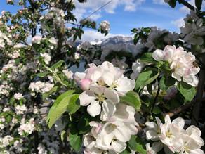 Fruktblomstring i Hardanger - en reiseguide til de beste stedene