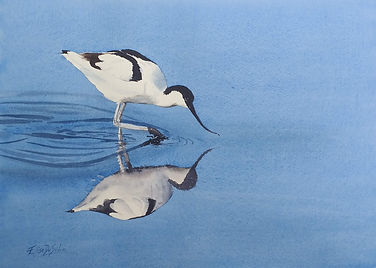 'Pied Avocet' - for sale