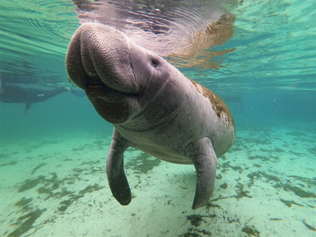 Snorkeling With Manatees In Crystal River