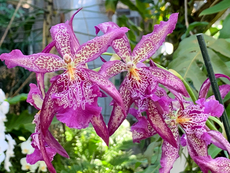 Annual Orchid Show at Marie Selby Botanical Gardens