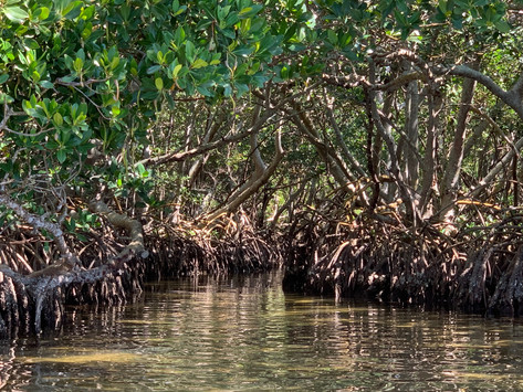 Explore The Lido Key Mangrove Tunnels