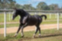 River Khan Standardbred Stallion Austral