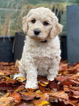 white labradoodle puppy.jpeg