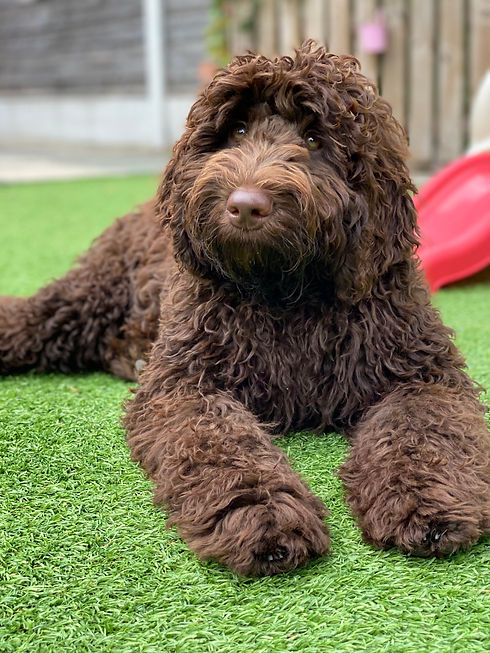 chocolate labradoodle.jpeg