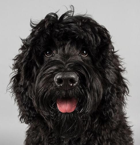 black australian labradoodle.jpg