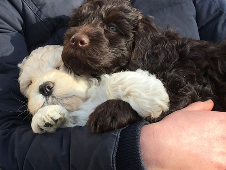 Puppy Reservations Temporarily Paused