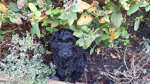 black ALD puppy.jpeg