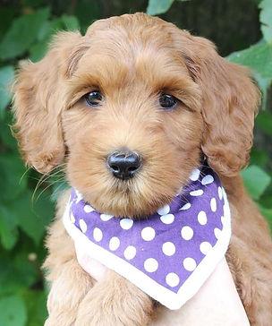 red labradoodle puppy.jpg